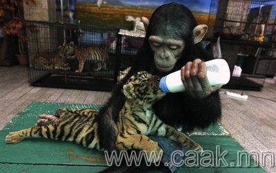 Барын бамбарыг бойжуулж байгаа шимпанзе